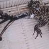 Аргентинская ящерица поставила рекорд в деле регенерации — она отрастила себе целых шесть хвостов.
