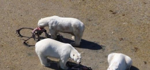 Новое исследование показало, что полярные медведи, которые из-за интенсивного таяния льдов не могут охотиться на тюленей, приспосабливаются к меняющемуся климату. Белые медведи уже начали питаться северными оленями – карибу, а также белыми гусями и их яйцами.