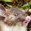 На севере острова Сулавеси (Индонезия) зоологи обнаружили новый вид хоботковых крыс, отличающихся необычной внешностью. О хищных грызунах с узким ртом, носом, похожим на свиной пятачок, и очень длинными волосами в урогенитальной зоне, рассказывается в журнале Journal of Mammalogy, а коротко об откры
