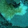 На небольшом вулканическом острове Рождества на юго-востоке Индийского океана. трагедия особенно заметна. Всего за пять лет некоторые рифы в его окрестностях из цветущего морского рая превратились в безжизненные могильники.