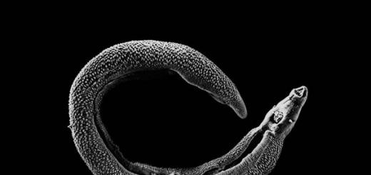 Антитела, призванные реагировать на один из белков червей-паразитов, могут «переключаться» на вполне безобидную цель – компоненты пыльцы цветущих растений – и вызывать мучительную аллергию.
