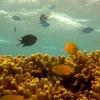 Оказавшись между «Хищником» и «Чужим», иногда достаточно пригнуться – и они сами друг с другом разберутся. Такой хитроумный подход используют и рыбки-хромисы, обитающие в коралловых оазисах Тихого океана.