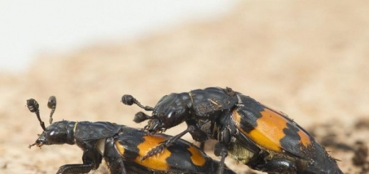 В отличие от самок подавляющего большинства видов, включая человека, «прекрасный пол» жуков-могильщиков отдает предпочтение менее крупным партнерам. Ученые не могут дать точное объяснение этой зависимости, но предполагают, что такие самцы менее агрессивны и реже вступают в схватки.