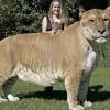 Лигр: самая большая кошка