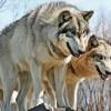 Компьютерная модель помогла раскрыть секреты охоты волчьей стаи