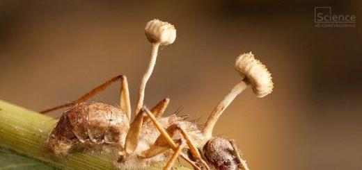 Аскомикотовый гриб рода Кордицепс превращает муравьев-древоточцев в зомби (Re.)