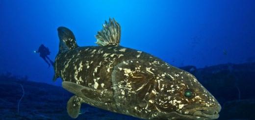 Исследователи обнаружили вид рыб, обладающих легкими. Ими оказались латимерии, живые ископаемые, существовавшие еще в эпоху динозавров. Возможно, именно легкие помогли им дожить до наших дней.