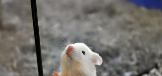 Вернув в работу ген, отключение которого может быть одной из причин аутизма, ученые избавили лабораторных мышей от целого ряда аутистических симптомов.