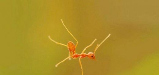 У муравьев, как и у пчел, давно сложилась особая репутация трудяг, работающих не покладая лапок. Но этот шаблон имеет с действительностью общего не больше, чем хитрость лисы или любовь ежей к яблокам. По данным нового исследования, большинство рабочих особей в муравейнике может пребывать в праздност