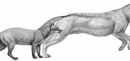 Исследователи изучили окаменелые останки североамериканских собак и пришли к выводу, что эволюция представителей семейства собачьих напрямую зависит от изменений в климате.