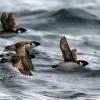 Долгие перелеты не любят ни люди, ни птицы: уж слишком много сил и энергии требуется на такое путешествие. И хотя многие мигрирующие птицы способны каждый год пересекать целые океаны, без большой необходимости эта форма поведения не возникает. Впрочем, иногда сомнения все-таки возникают: может, им э
