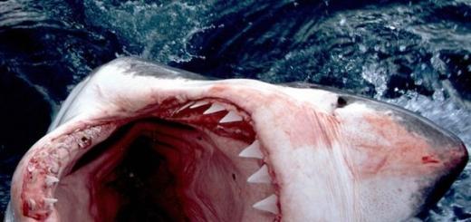 Сообщается, что в минувшем году акулы нападали на человека рекордное число раз. Самое большое количество атак приходится на Соединенные Штаты Америки.