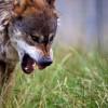 Канадские ученые впервые экспериментально доказали, что хищники играют решающую роль в сохранении биоразнообразия и поддержании здоровья экосистем. Они положительно влияют на экосистему, не только убивая добычу, но и просто запугивая ее.
