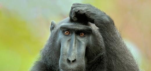 Исследователи считают, что с помощью определенных лингвистических инструментов они наконец-таки научились понимать обезьян.